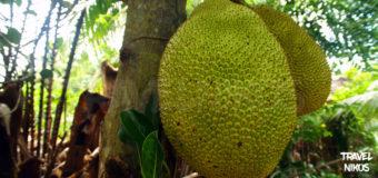 Τροπικά φρούτα που συναντήσαμε επάνω σε δέντρα στον Μεκόνγκ Δέλτα, Βιετνάμ