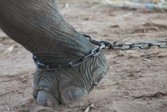 Ελέφαντες σκλάβοι εργαζόμενοι στην τουριστική βιομηχανία