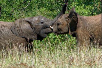 Εθνικό Πάρκο Κάενγκ Κρατσάν και οι άγριοι ασιατικοί ελέφαντες του