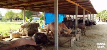 Το χωριό των Bουβαλιών στην επαρχία του Σουπάν Μπουρί
