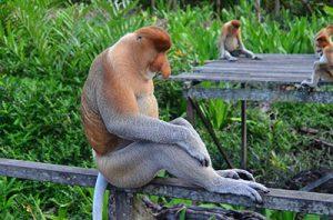 Proboscis Monkey, Βόρνεο Borneo Malaysia Μαλαισία