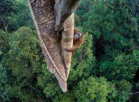 Orangutan στο Βόρνεο Borneo Nat Geo