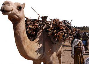Αιθιοπία Καμήλα, Ethiopia Camel