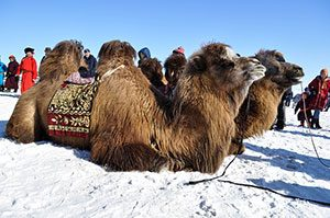 Mongolia bactrian camels, Μογγολία