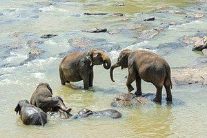 Sri Lankan Elephant, Σρι Λάνκα